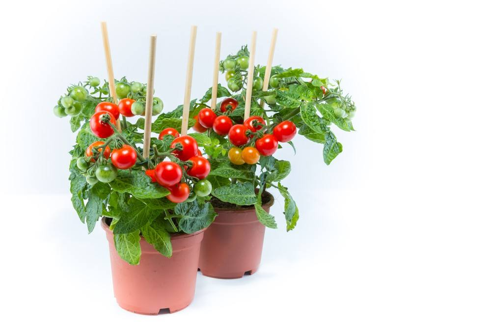 طريقة زراعة و تخزين الطماطم في المنزل